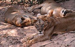 30657resting_lions.jpg