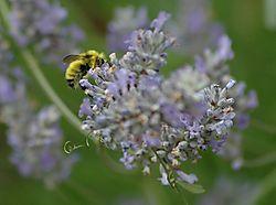 32813Busy_Bee.jpg