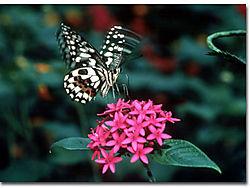 33870swallowtailinflight1-size.jpg