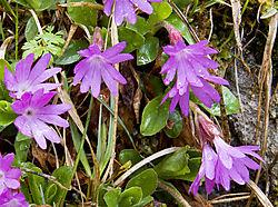 3_007a_Primula_integrifolia.jpg