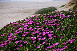 4029Half-Moon-Bay-Flowers.jpg