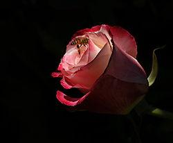431986kb_rose.jpg