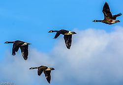 4_Canadian_Geese.jpg