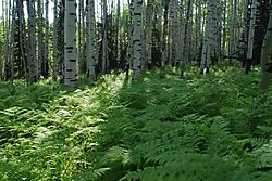 59564Forest_ferns.jpg