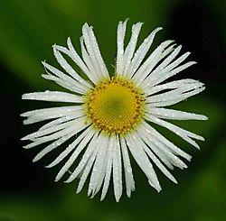 59564White_flower.jpg