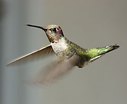 64351HummingBird2web.jpg