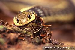 6580Snake_eating_frog.jpg