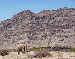 75O0474_desert-acclimated_elephant_color.jpg