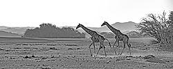 75O0575_2_desert_giraffes_sepia.jpg