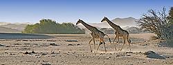 75O0575_Desert-acclimated_giraffes_v2_nik_graduated_blue_reflector_efx.jpg