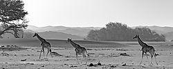 75O0587_3_Hoanib_giraffes_B_W.jpg