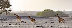 75O0587_3_Hoanib_giraffes_color_NatGeo.jpg