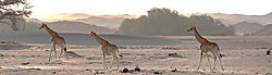 75O0587_sunlit_giraffes_color.jpg