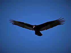 7604_Turkey_Vulture.jpg