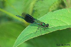 79257Calopteryx_splendens_-_Banded_Demoiselle.jpg