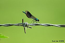 79257Calopteryx_splendens_-_Banded_Demoiselle_1.jpg