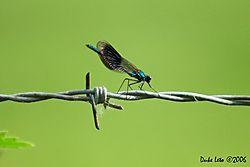 79257Calopteryx_splendens_-_Banded_Demoiselle_11.jpg