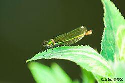 79257Calopteryx_virgo_-_Beautiful_Demoiselle.jpg