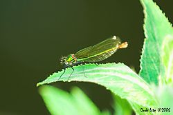 79257Calopteryx_virgo_-_Beautiful_Demoiselle1.jpg