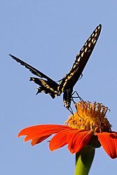 79461blk_yel_butterfly_red_flower.jpg