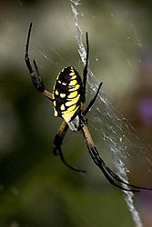 79461blk_yellow_spider1.jpg