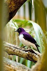 79461white_purple_bird.jpg