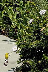 79461yellow_bird_dsc2084_12x18.jpg