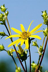 79461yellow_flower_dsc2091_12x18.jpg