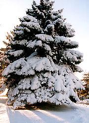 80490Christmas-Tree-No-1.jpg