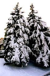 80490More-Christmas-Trees-EDITED.jpg
