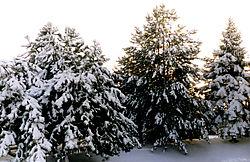 80490More-Christmas-Trees.jpg