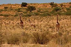 80707Giraffe.jpg