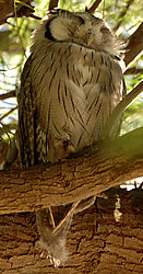 80707WhitFacedOwl.jpg
