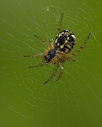 84037Black_-_Yellow_Spider_1.jpg