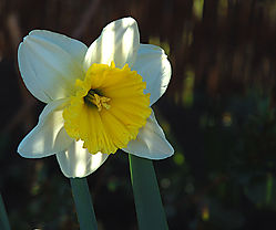 84037Daff---White---Yellow-2.jpg