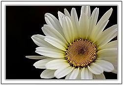 84037Daisy---close-up.jpg