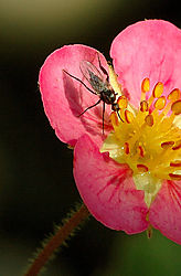 84037Fly-on-Pink-2.jpg