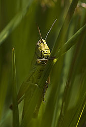 84037Grass-Hopper-2.jpg