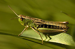 84037Grass-Hopper-5---low-key.jpg