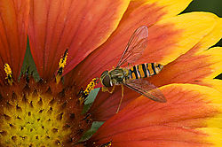 84037Hover-Fly_on_red_1.jpg