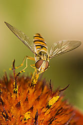 84037Hover-Fly_on_red_2.jpg