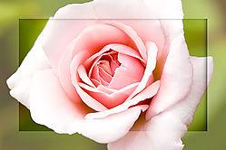 84037Pink-Rose---Large-Frame.jpg