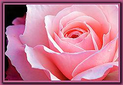 84037Rose---Pink-_2.jpg