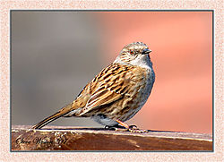 84037Sparrow-on-Fence_-_WEB.jpg