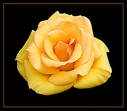 84037Yellow-Rose---Peace---Black.jpg