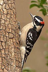 84463Downey-Woodpecker.jpg