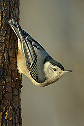 84463White-Breasted-Nuthatch2.jpg