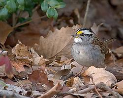 84463White-Throated-Sparrow.jpg