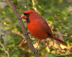 84463male-Cardinal.jpg