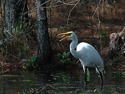 88581DSC_4255a_-_Egret_swallowing_the_fish.jpg